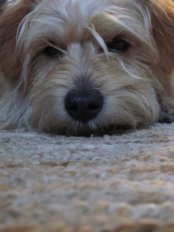 wirehaired terrier, rescue dog, pound dog